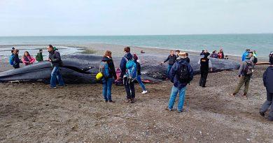Por descomposición y fuertes olores, restringirán sector donde varó ballena