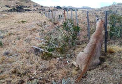 Asesinan a puma en el límite del parque nacional Pali Aike