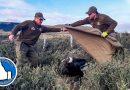 Carabineros rescataron a ejemplar de cóndor herido desde la Ruta 9